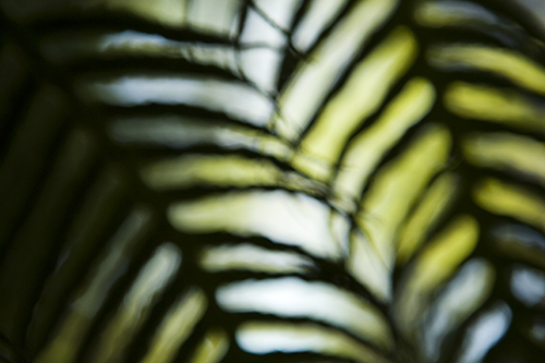 Fern fronds out of focus, Berkeley Botanical Garden, Berkeley, California