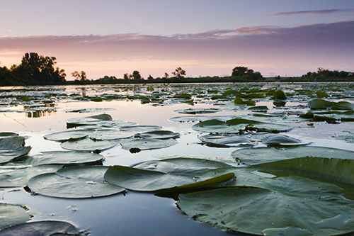 Lily Pads on Lake in Pennsylvania