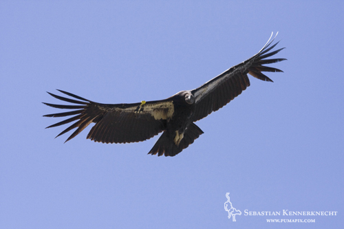 Soaring Adult California Condor in Big Sur