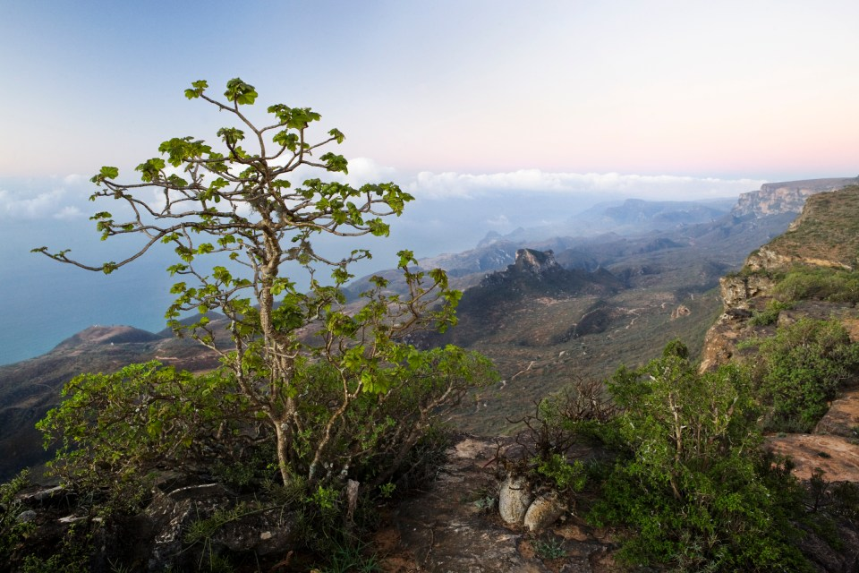 Dhofari Jatropha (Jatropha dhofarica) on cliff edge over cloud forest, Hawf Protected Area, Yemen