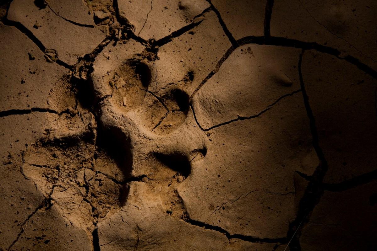 Striped Hyena (Hyaena hyaena) footprint in cracked mud, Hawf Protected Area, Yemen