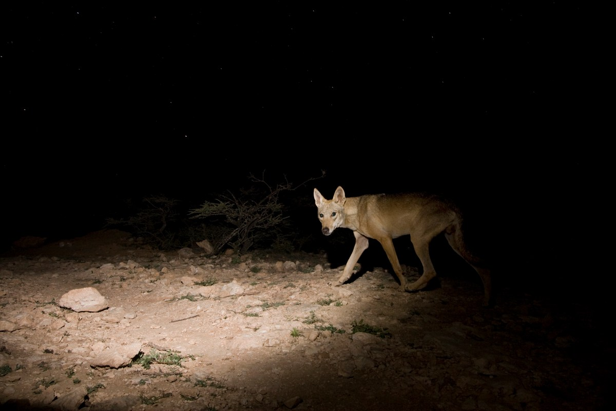Arabian Wolf (Canis lupus arabs) male on plateau at night, Hawf Protected Area, Yemen