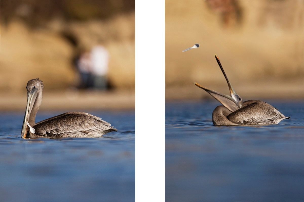 Brown Pelican (Pelecanus occidentalis) juvenile with plastic spoon in bill, Santa Cruz, Monterey Bay, California