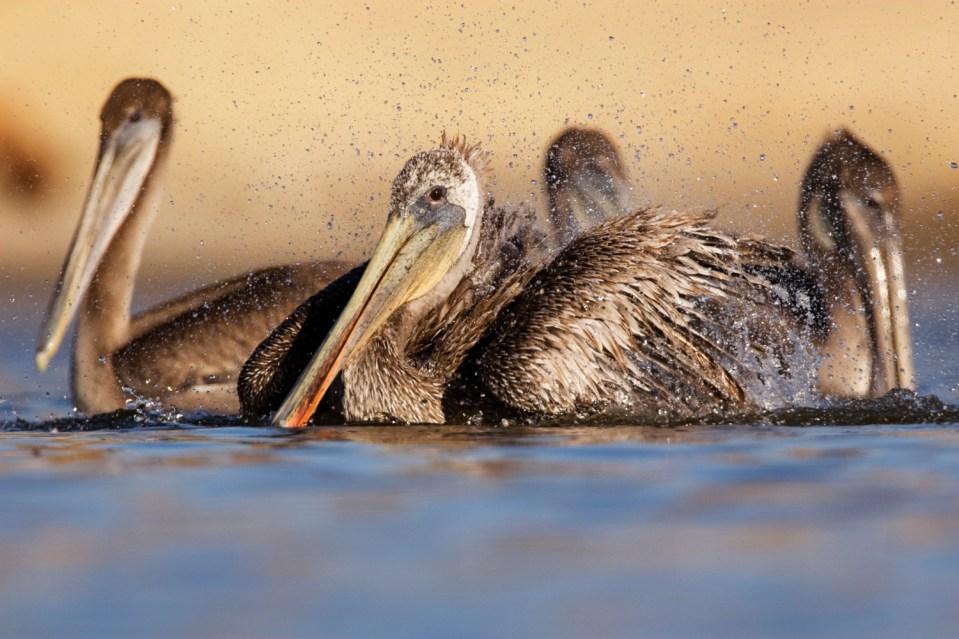 Brown Pelican (Pelecanus occidentalis) sub-adult bathing, surrounded by juveniles, Santa Cruz, Monterey Bay, California
