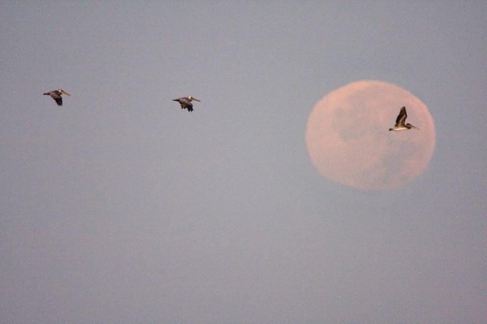 Brown Pelican (Pelecanus occidentalis) group flying in front of moon, Sunset State Beach, Santa Cruz, Monterey Bay, California