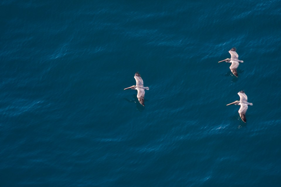 Brown Pelican (Pelecanus occidentalis) group gliding over ocean, Big Sur, California