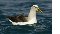 IMG_98594_Bullers_Albatross_New_Zealand_Sebastian_Kennerknecht