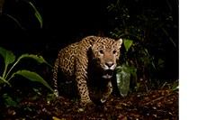 Costa Rica Jaguar