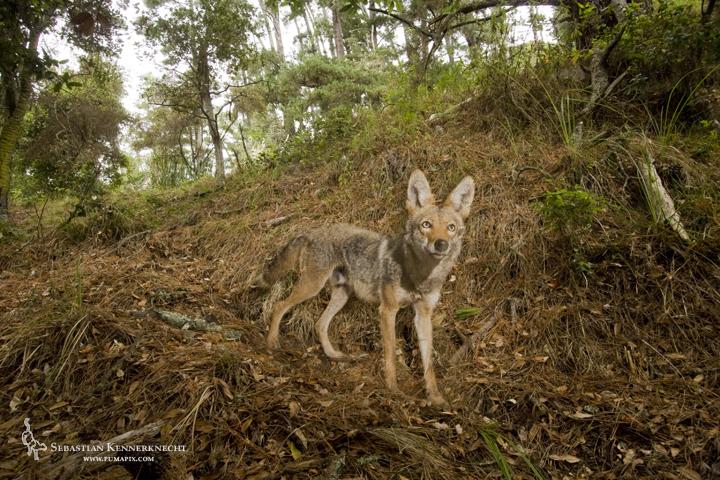 1Sebastian Kennerknecht - Coyote in Forest-IMG_84641