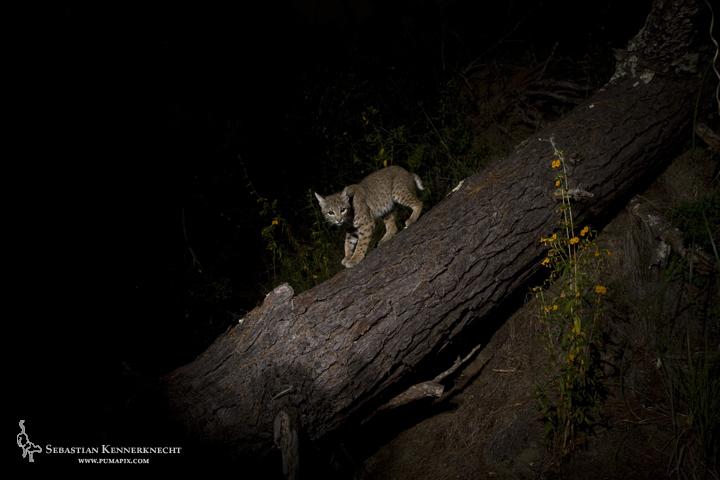 1Sebastian Kennerknecht - Juvenile Bobcat on Log-IMG_84569