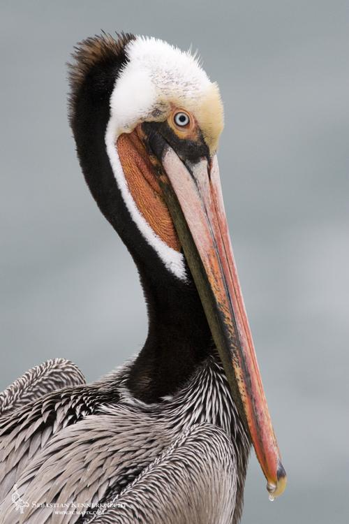 Sebastian Kennerknecht-IMG_32564-Brown Pelican