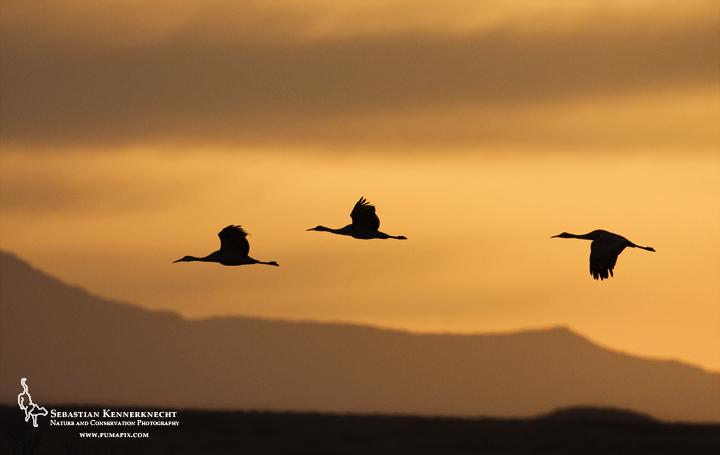 Sandhill Crane Trio Silhouetted in Flight