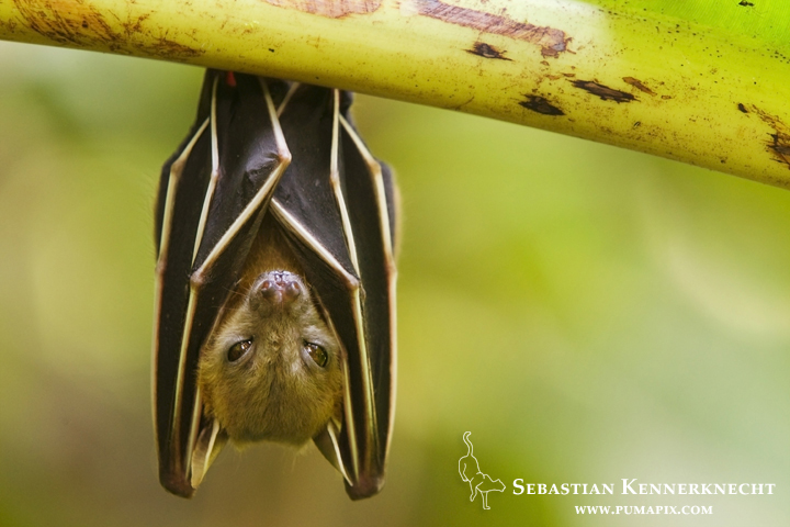 Lesser Short-nosed Fruit Bat (Cynopterus brachyotis) roosting, Tawau Hills Park, Sabah, Borneo, Malaysia