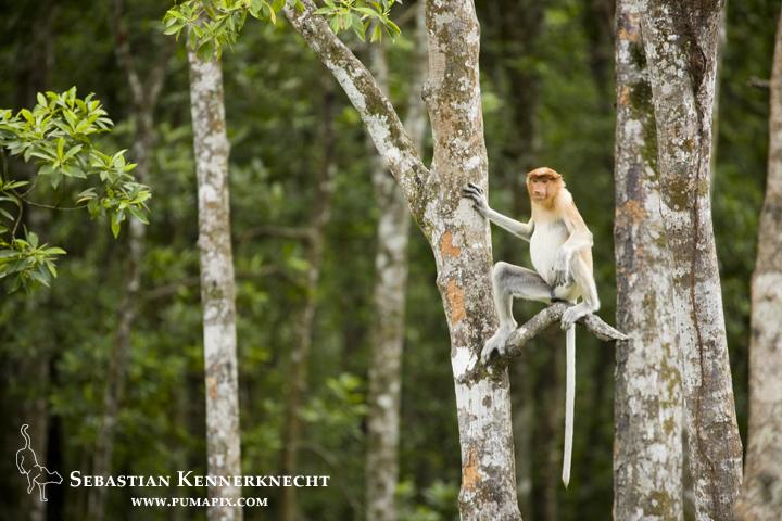 Proboscis Monkey (Nasalis larvatus) female in tree, Sabah, Borneo, Malaysia