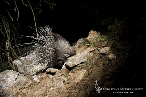 Indian Crested Porcupine (Hystrix indica), Hawf Protected Area, Yemen