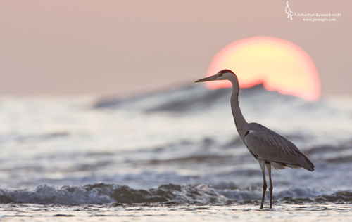 Grey Heron in surf at sunset, Hawf Protected Area, Yemen