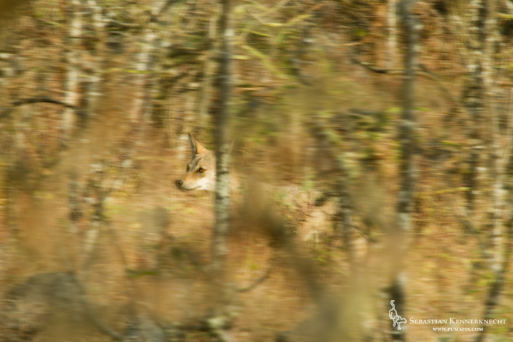 Sebastian Kennerknecht-IMG_86626-Arabian Wolf