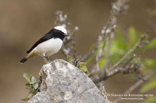 South Arabian Wheatear (Oenanthe lugentoides) male, Hawf Protected Area, Yemen