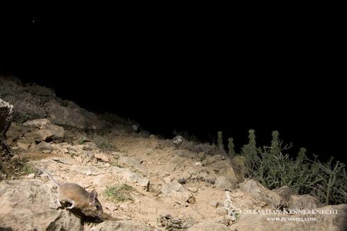 Spiny Mouse (Acomys cahirinus), Hawf Protected Area, Yemen