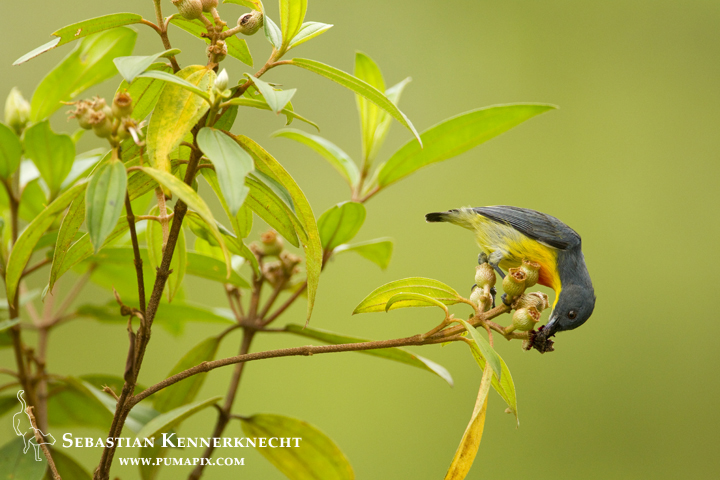 Yellow-rumped Flowerpecker (Prionochilus xanthopygius) male feeding on flower nectar, Danum Valley Conservation Area, Sabah, Borneo, Malaysia