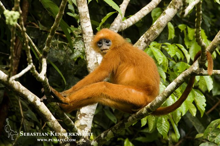 Red Leaf Monkey (Presbytis rubicunda) in tree, Tawau Hills Park, Sabah, Borne