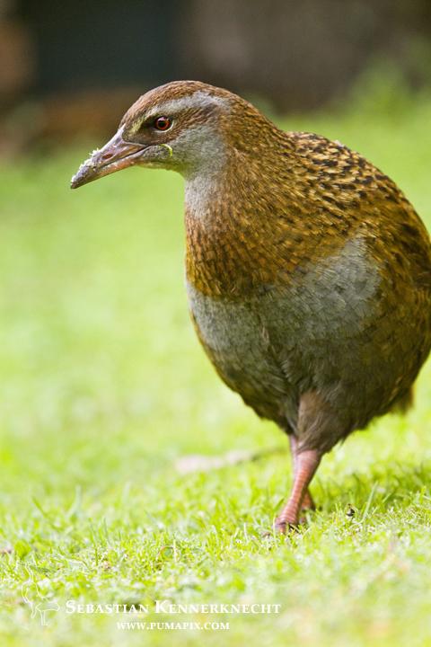 Weka (Gallirallus australis greyi), Kapiti Island, North Island, New Zealand