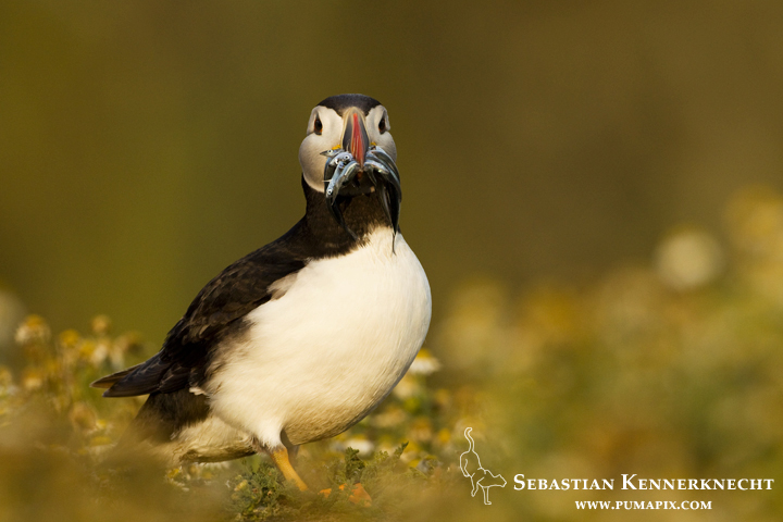 IMG_117288_Atlantic_Puffin_United_Kingdom_Sebastian_Kennerknecht