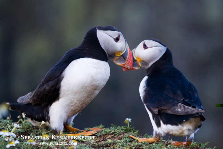 IMG_117517_Atlantic_Puffin_United_Kingdom_Sebastian_Kennerknecht