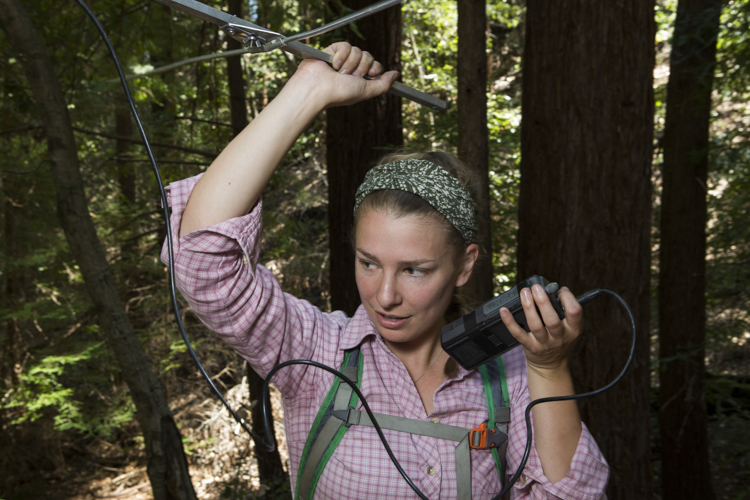 Mountain Lion (Puma concolor) biologist, Anna Nisi, using telemetry to track female, Santa Cruz Puma Project, Santa Cruz Mountains, California