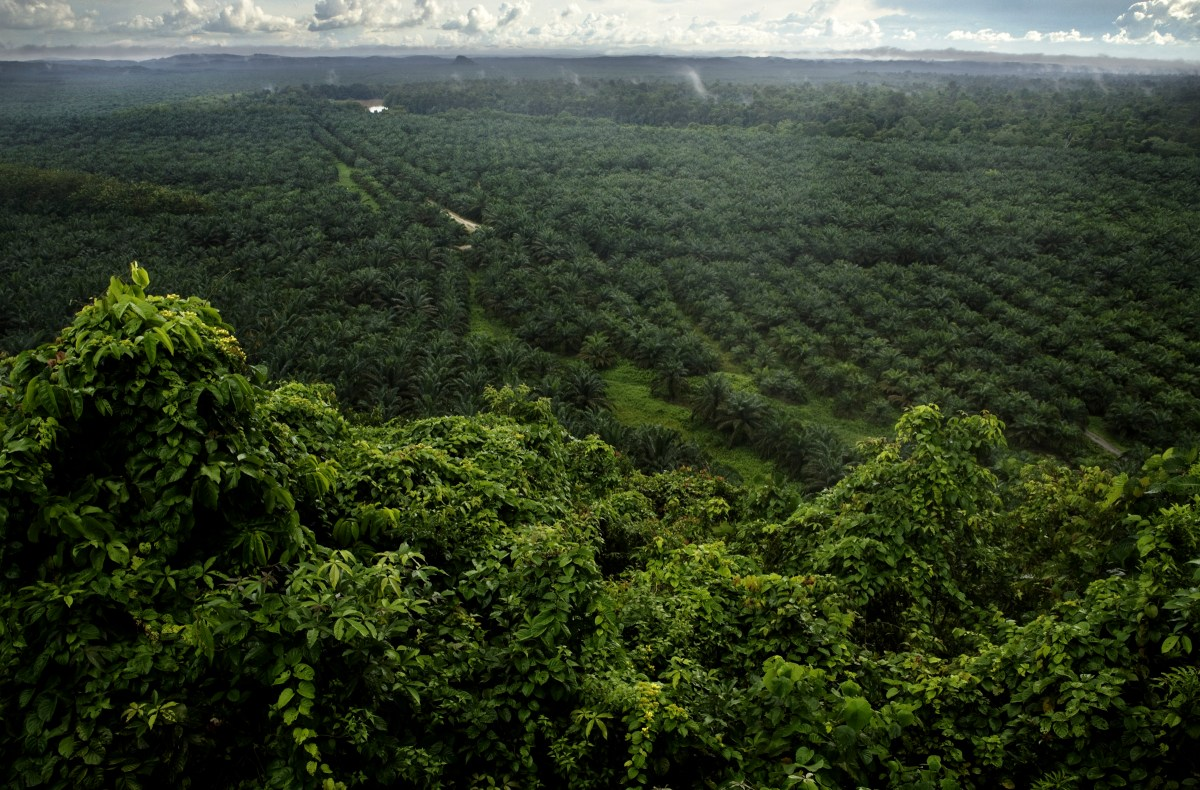 African Oil Palm (Elaeis guineensis) plantation with remaining secondary lowland rainforest in foreground, Kinabatangan River, Sabah, Borneo, Malaysia