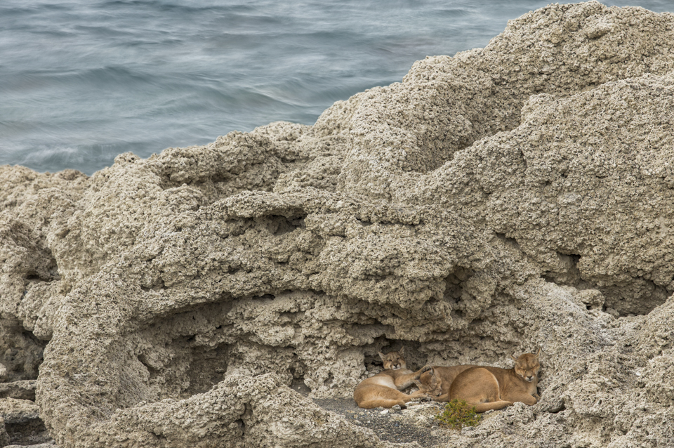 Pumas sleeping near lake, Sarmiento Lake, Torres del Paine National Park, Patagonia, Chile