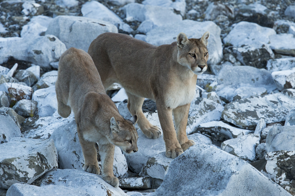 Mountain Lion (Puma concolor) mother and six month old cub, Torres del Paine National Park, Patagonia, Chile