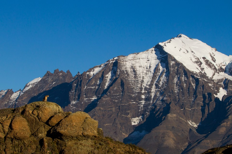 Mountain Lion (Puma concolor) female in front of mountains, Torres del Paine National Park, Patagonia, Chile