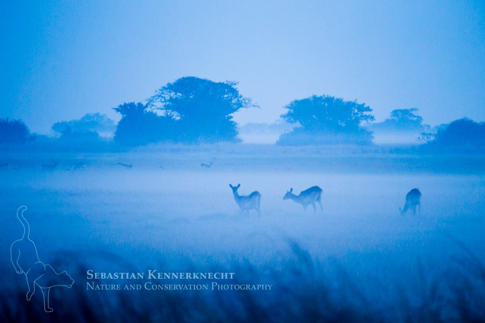 Lechwe (Kobus leche) females in floodplain at dawn, Busanga Plains, Kafue National Park, Zambia