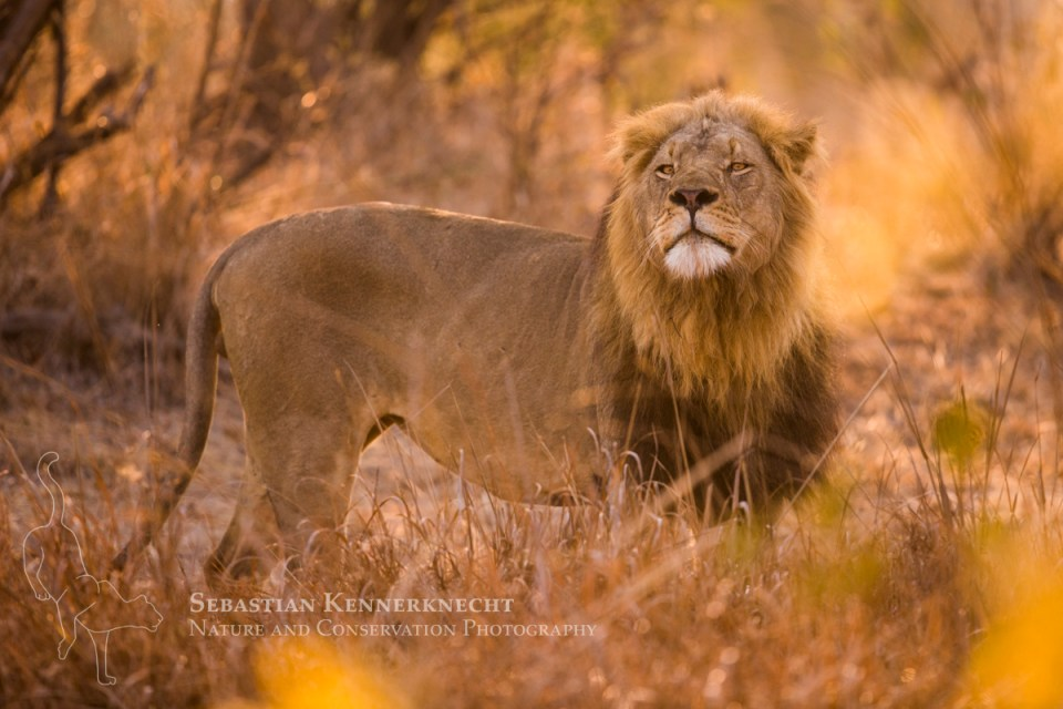 African Lion (Panthera leo) six year old male smelling air, Kafue National Park, Zambia