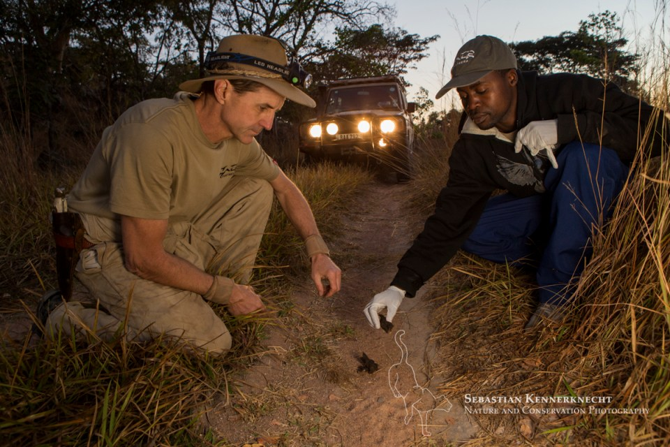 African Leopard (Panthera pardus) biologists, Jake Overton and Evans Nsende, collecing scat, Kafue National Park, Zambia