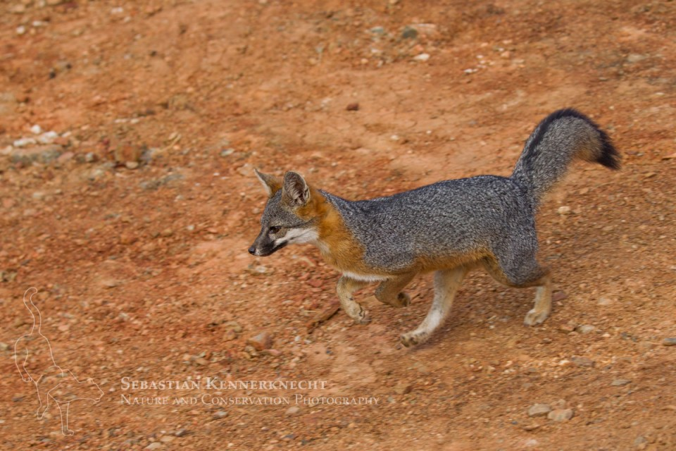 Santa Catalina Island Fox (Urocyon littoralis catalinae) running, Santa Catalina Island, Channel Islands, California