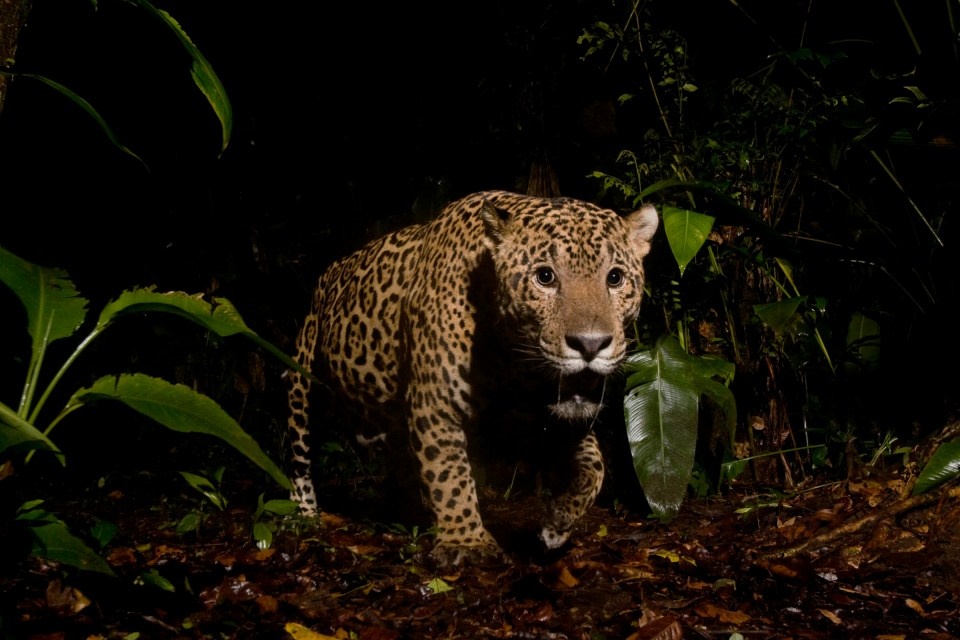 Jaguar (Panthera onca) male in rainforest at night, Coastal Jaguar Conservation Project, Tortuguero National Park, Costa Rica
