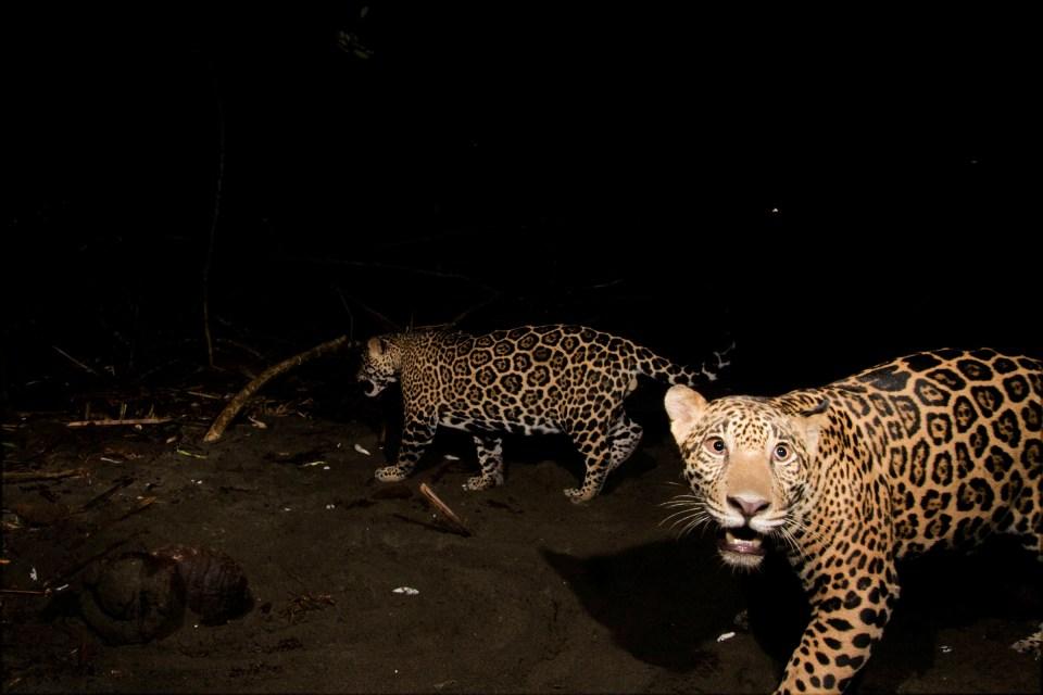 Jaguar (Panthera onca) yearling male cubs on beach at night, Coastal Jaguar Conservation Project, Tortuguero National Park, Costa Rica