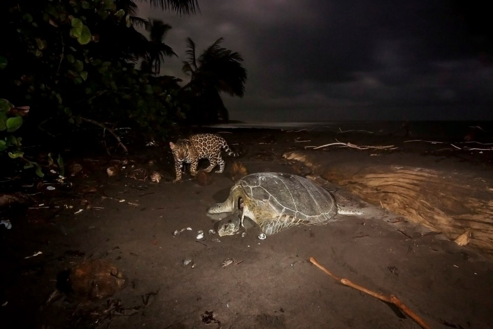 Coastal Jaguar