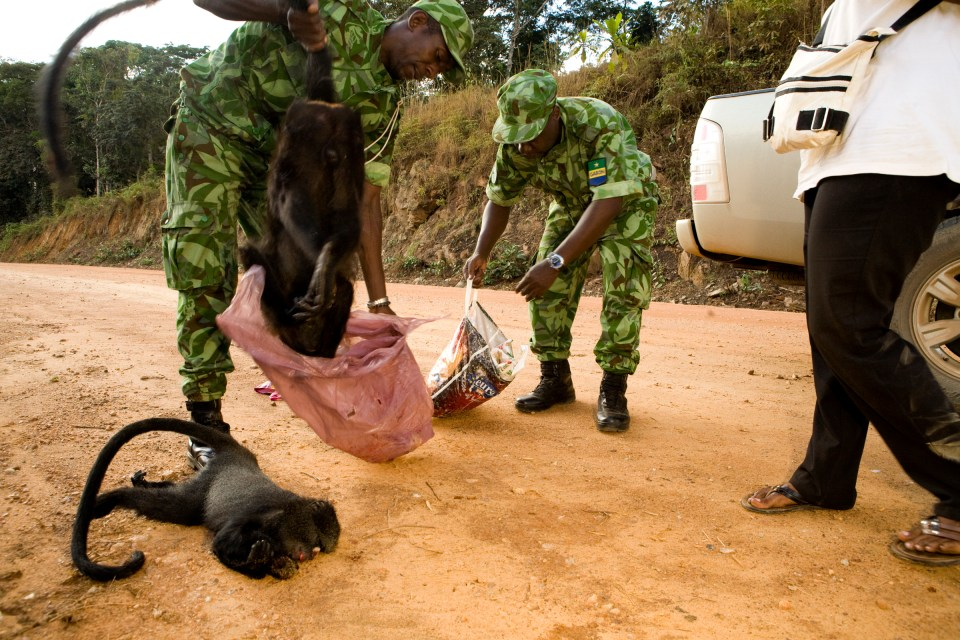 Gray-cheeked Mangabey (Lophocebus albigena) being pulled out of bag by National Park guard during illegal bushmeat seizure, Lope National Park, Gabon