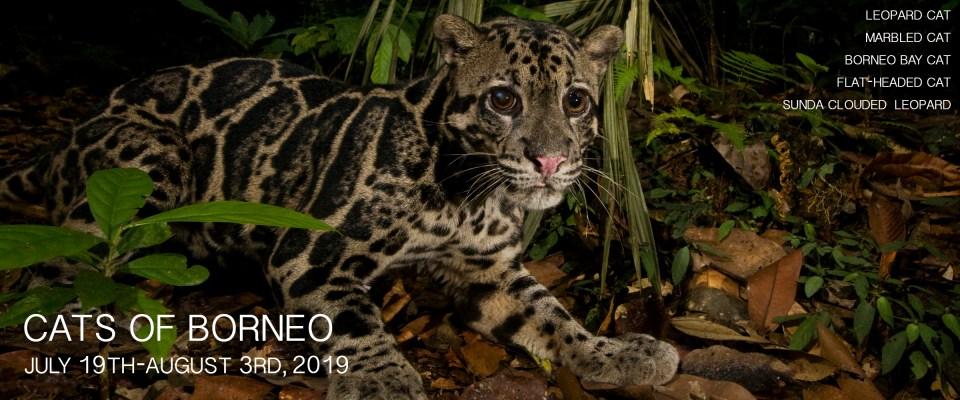 Cats of Borneo Photo Tour