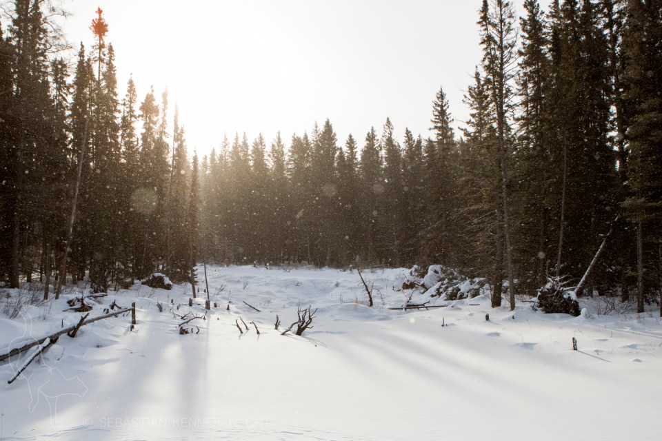 Snowfall in boreal forest in winter, Manitoba, Canada
