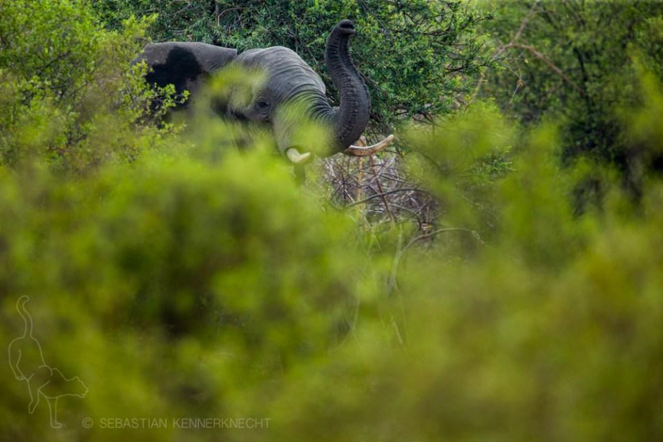 African Elephant (Loxodonta africana) scenting in woodland, Mudumu National Park, Namibia