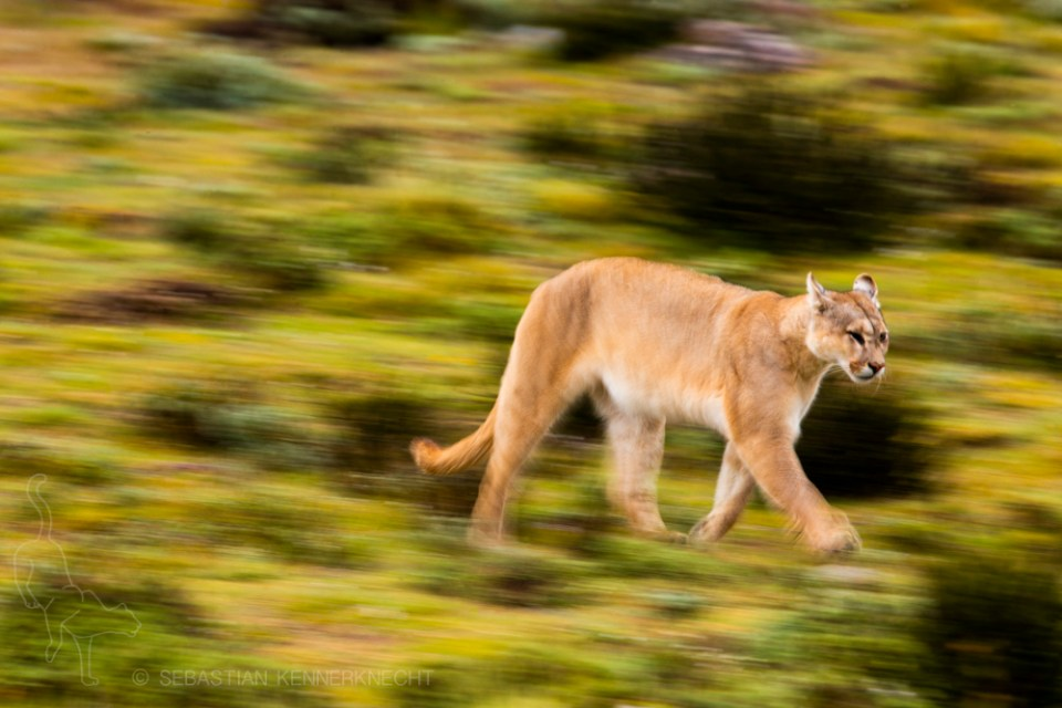 Mountain Lion (Puma concolor) female running, Torres del Paine National Park, Patagonia, Chile