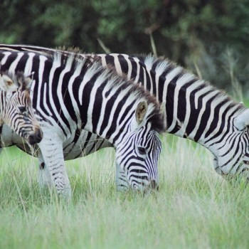 Pumba Private Game Reserve Weddings Zebra On The Reserve