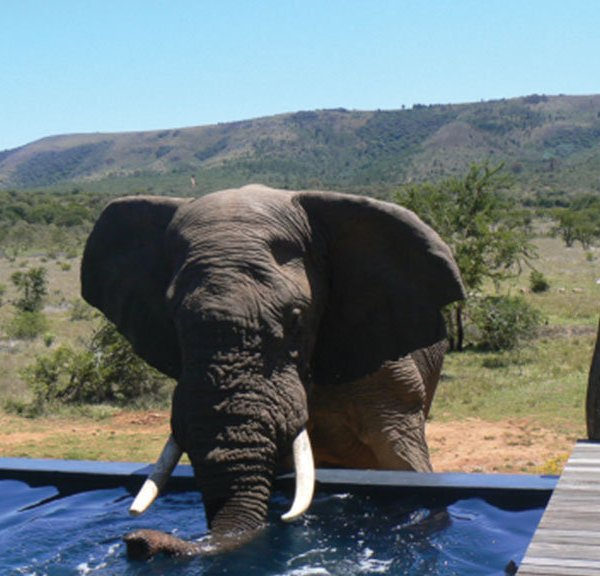Pumba Msenge Bush Lodge Elephant at the pool