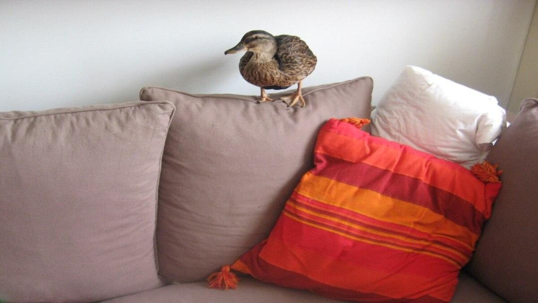 pet duck tales Margaret Thatcher animal antics