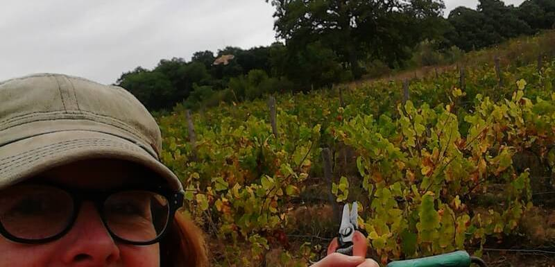 Grape harvest time in the vineyard with Pumpjack Piddlewick
