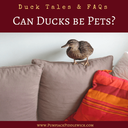 Can Ducks be Pets - Duck Tales and FAQs at PumpjackPiddlewick